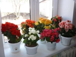 Красавица комнатная бегония: описание и правила выращивания в домашних условиях